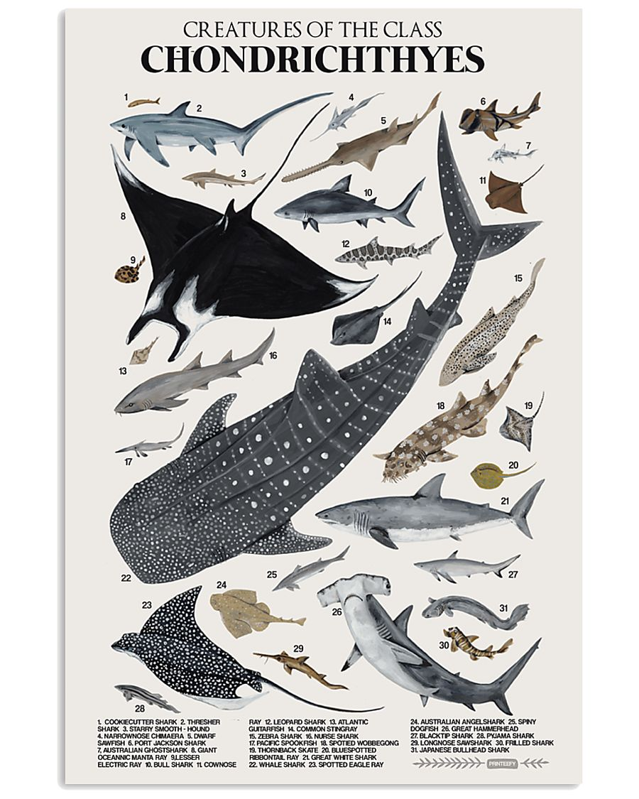 HD Chondrichthyes Poster 11x17 Poster showcase