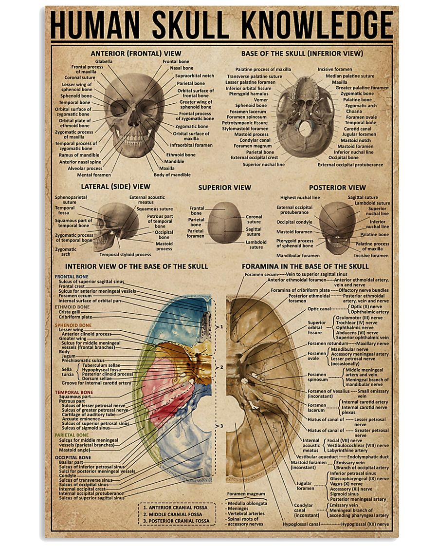 Human Skull Knowledge 11x17 Poster