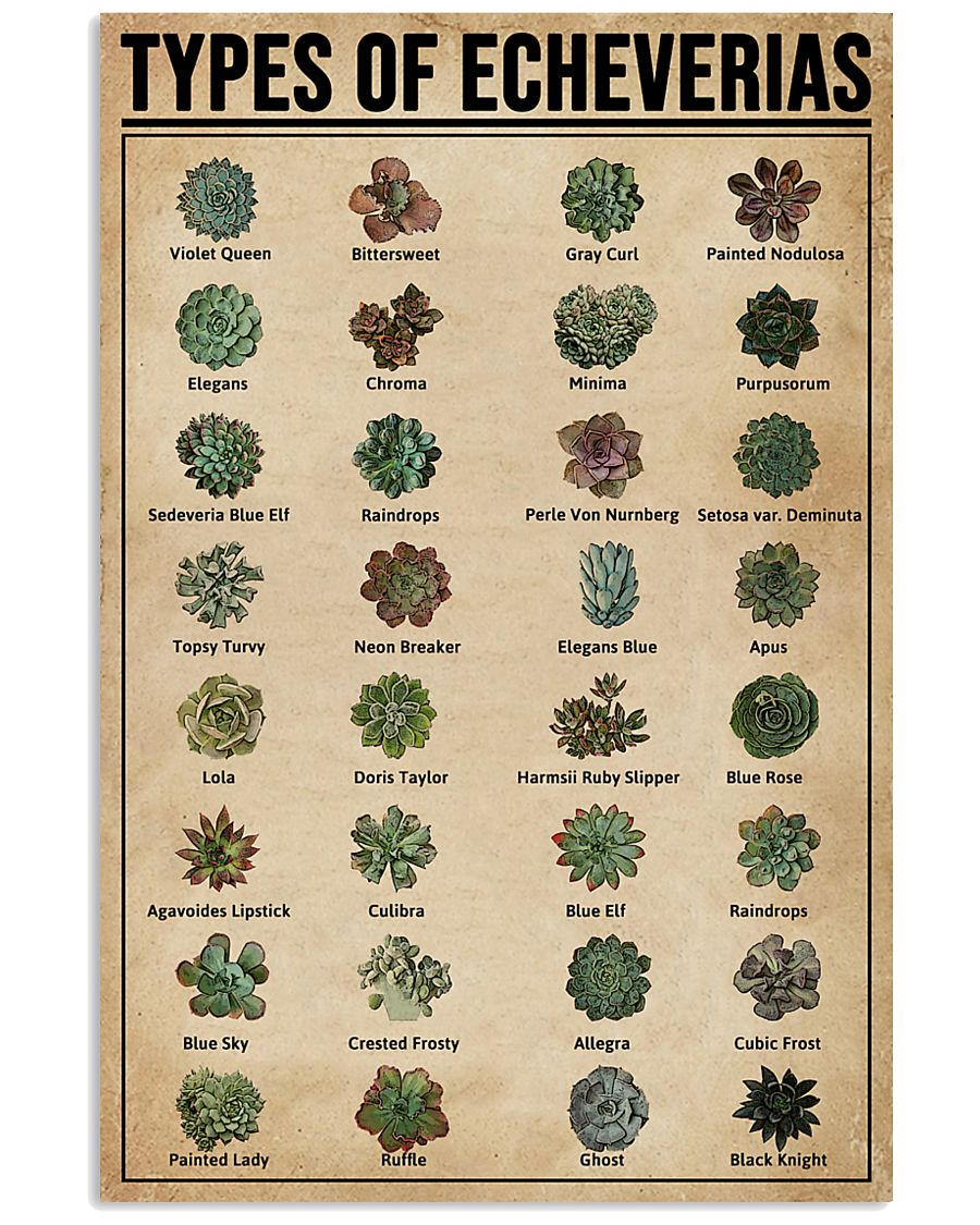 Types Of Echeveria Succulents 11x17 Poster