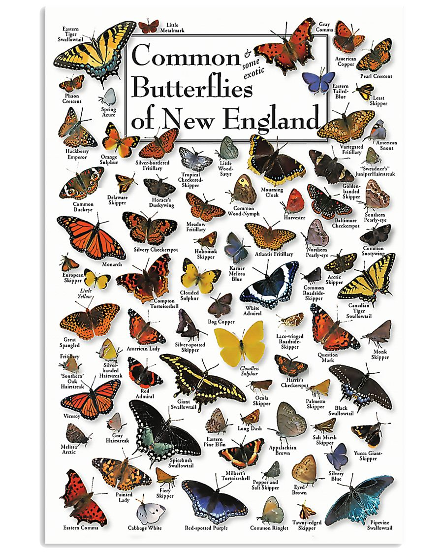 BUTTERFLIES OF NEW ENGLAND 11x17 Poster