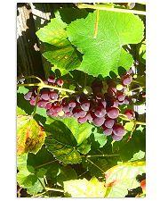 Fresh Grapes 11x17 Poster thumbnail