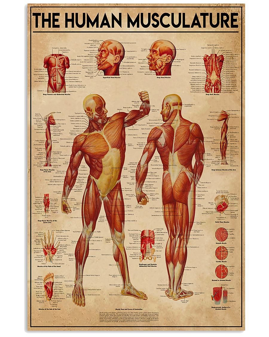 Massage therapist The Human Musculature 11x17 Poster