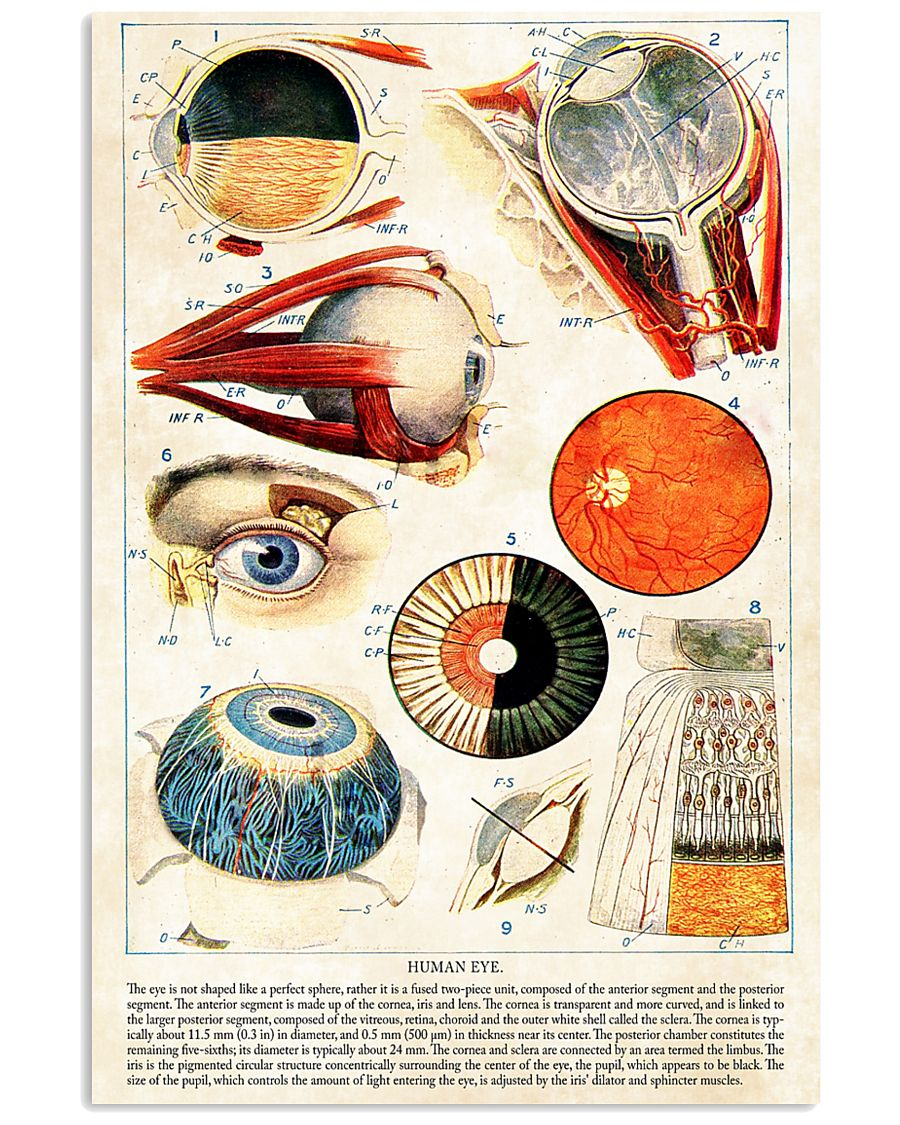 Human Eye Anatomy Optometrist 11x17 Poster