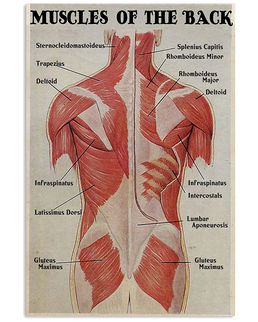 Massage Therapist Muscles Of The Back 11x17 Poster