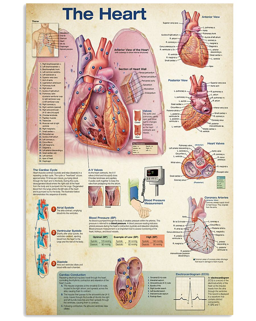 Cardiologist The Heart 11x17 Poster