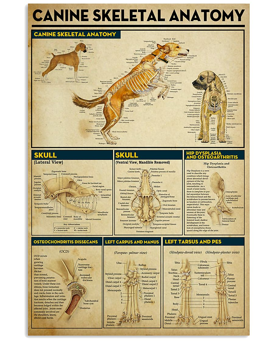 Veterinarian Canine Skeletal Anatomy Poster 11x17 Poster