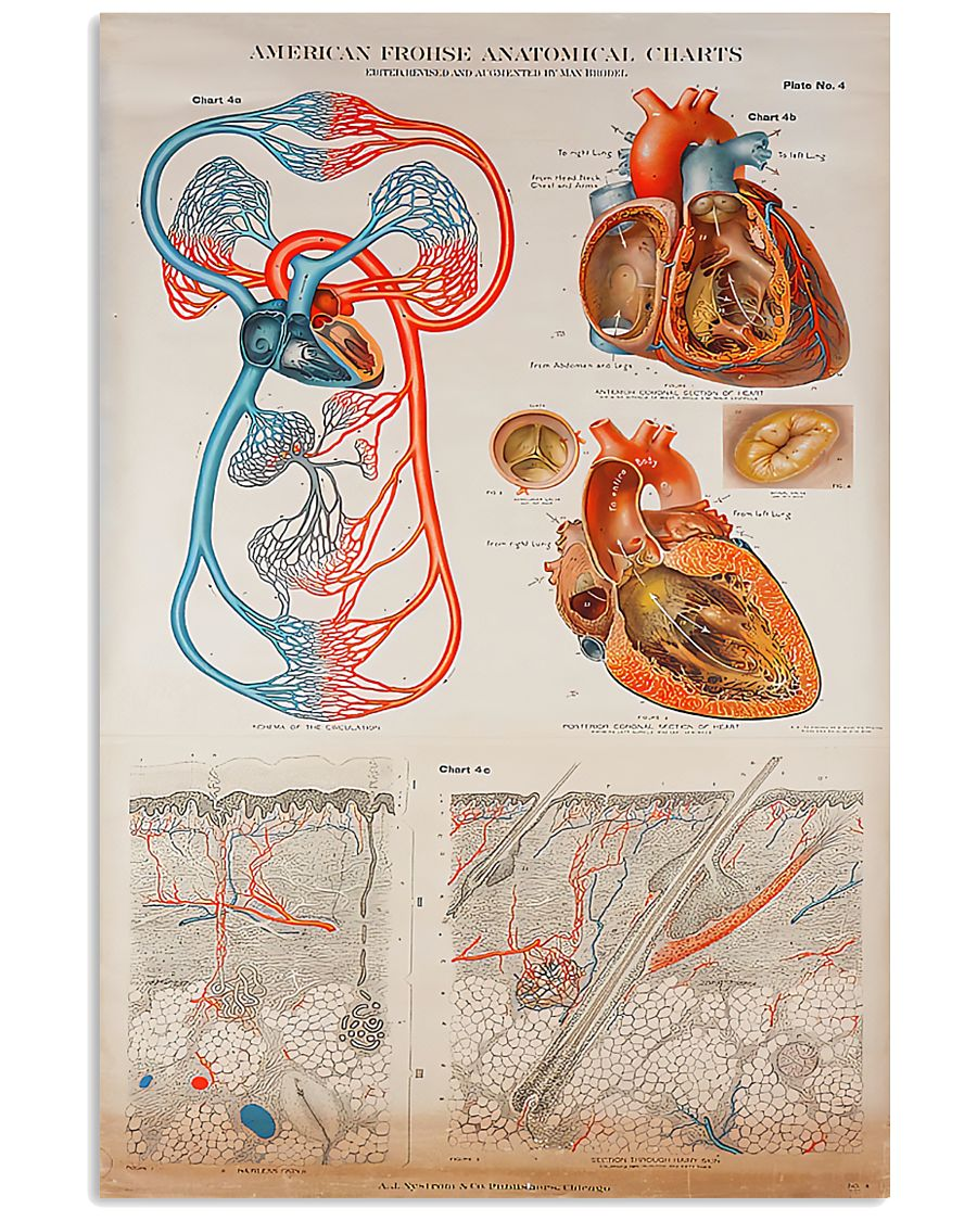Human Heart Anatomical Cardiologist 11x17 Poster
