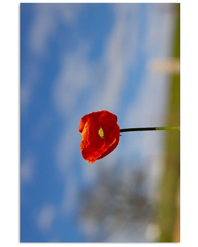 Red Poppy poster print 1