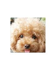 Big Face Poodle Square Magnet thumbnail
