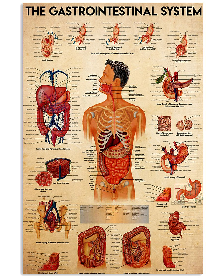 anatomy the gastrointestinal system 24x36 Poster