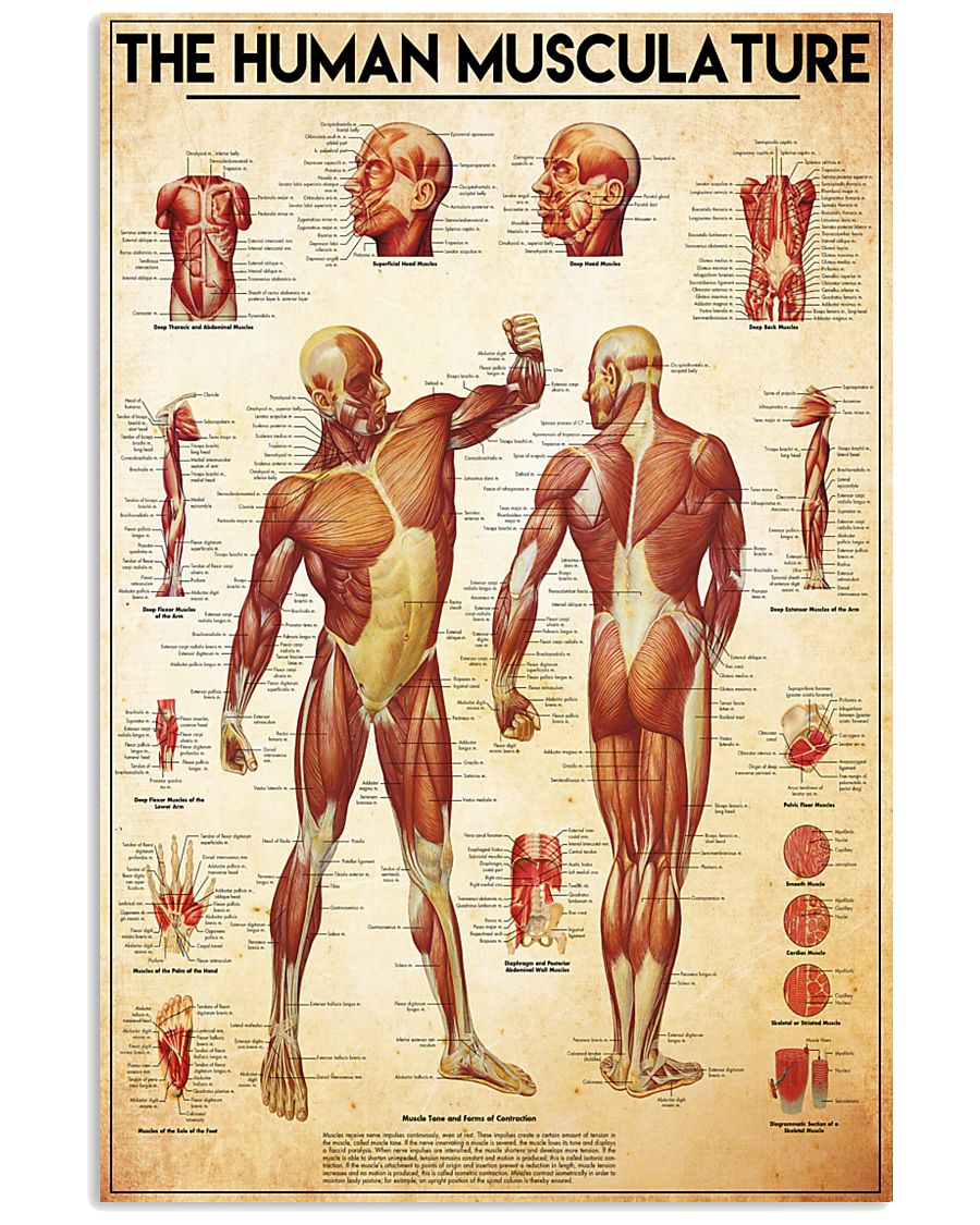 the human musculature 24x36 Poster