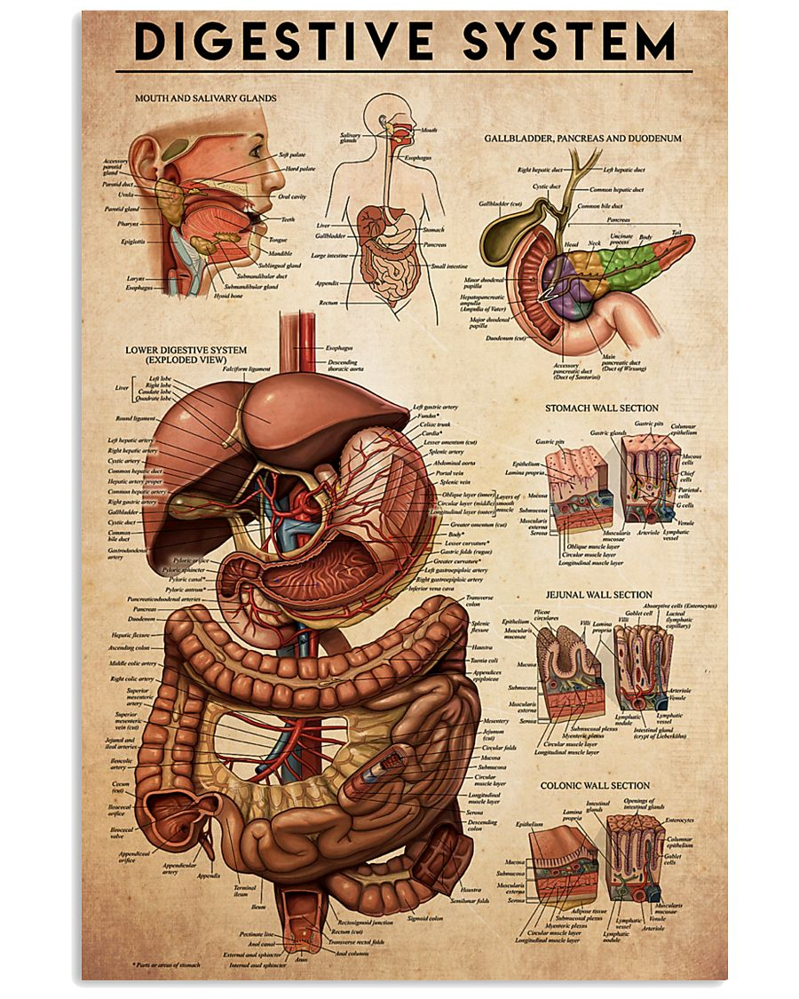 digestive-antm 24x36 Poster