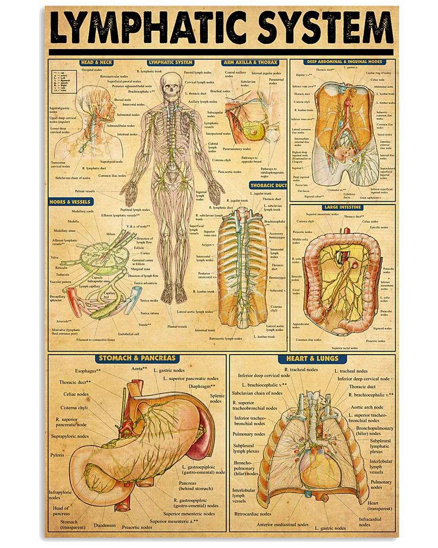 lymphatic-system 11x17 Poster