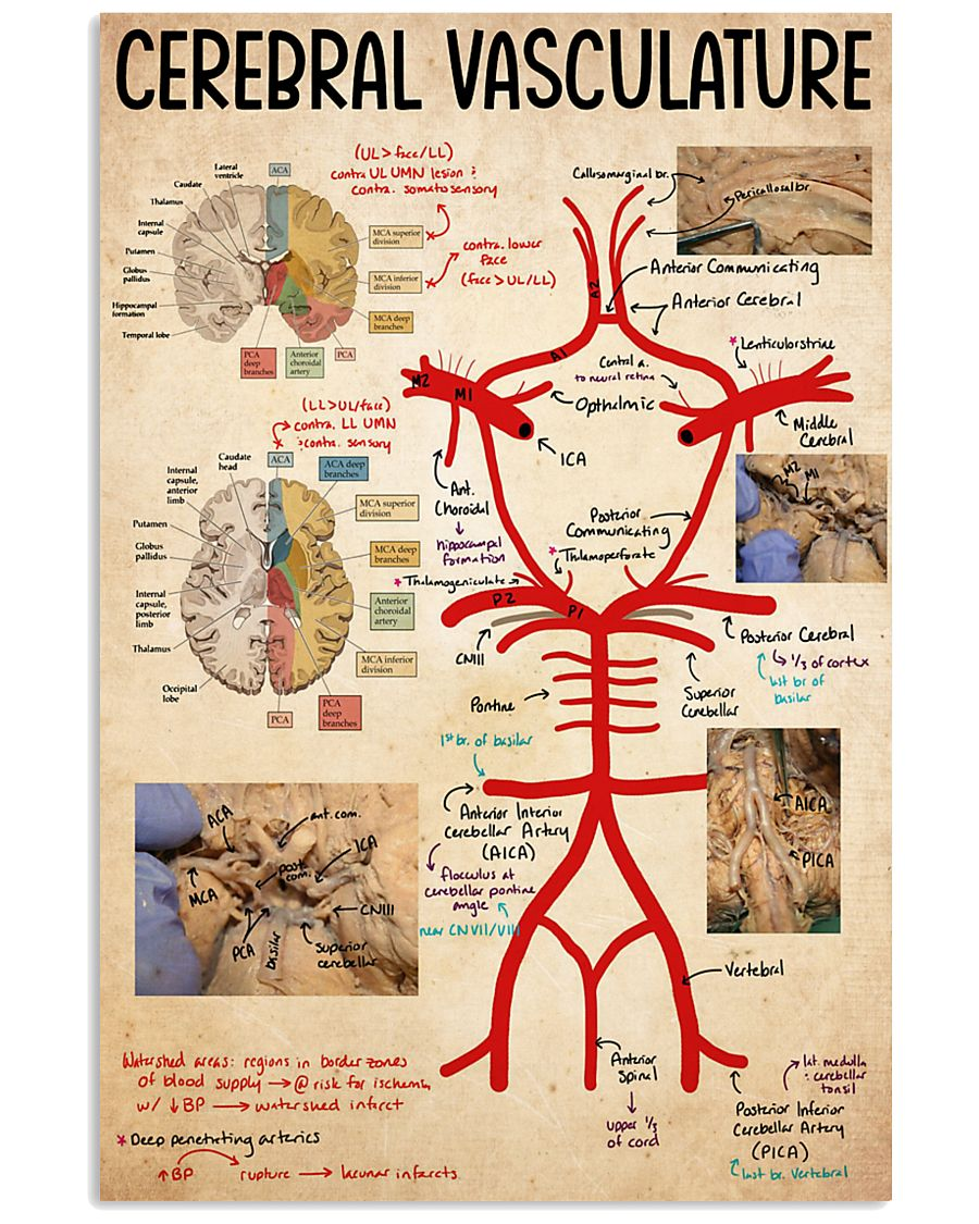 cerebral vasculature 11x17 Poster