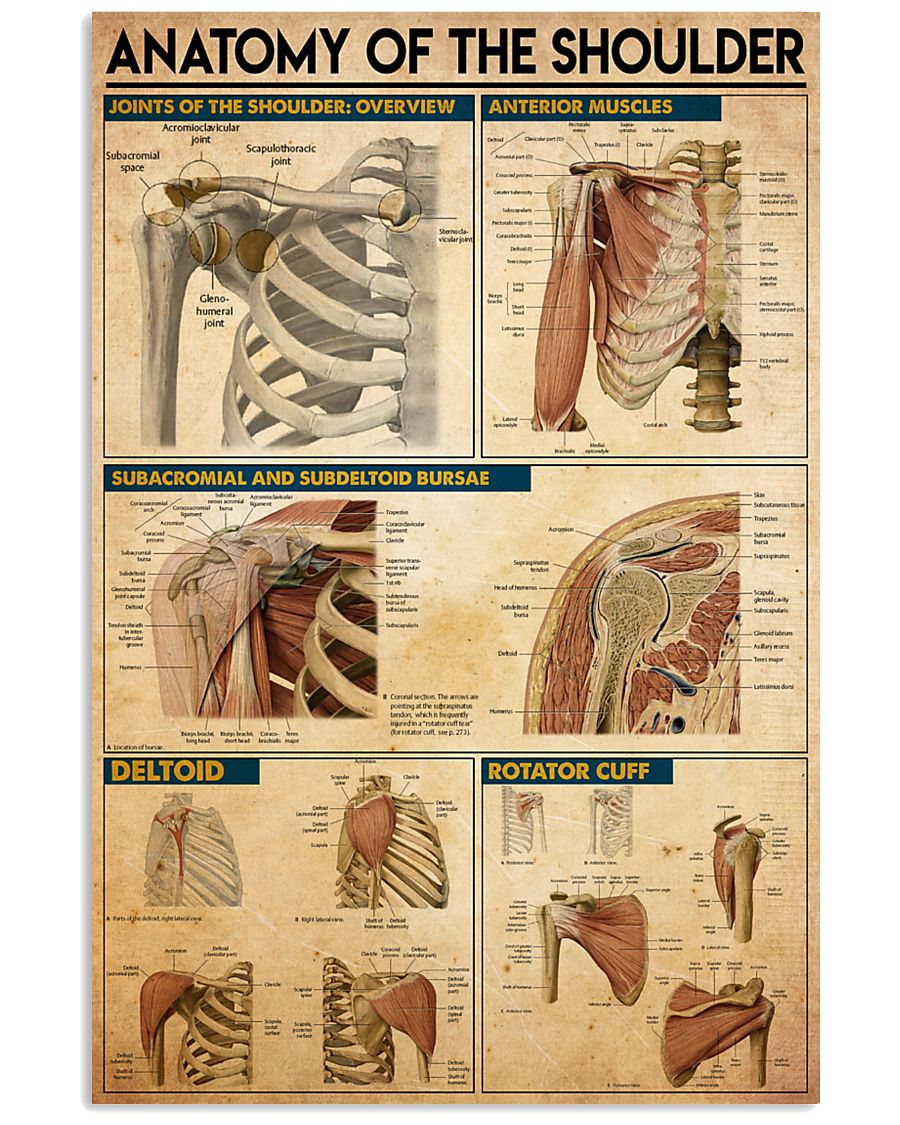 shoulder-anatomy 11x17 Poster